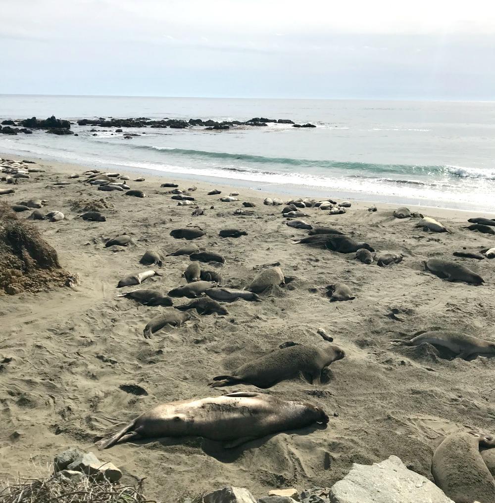 Seals at Ragged Point